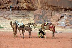 Kamelversammlung im Wadi Rum in Jordanien