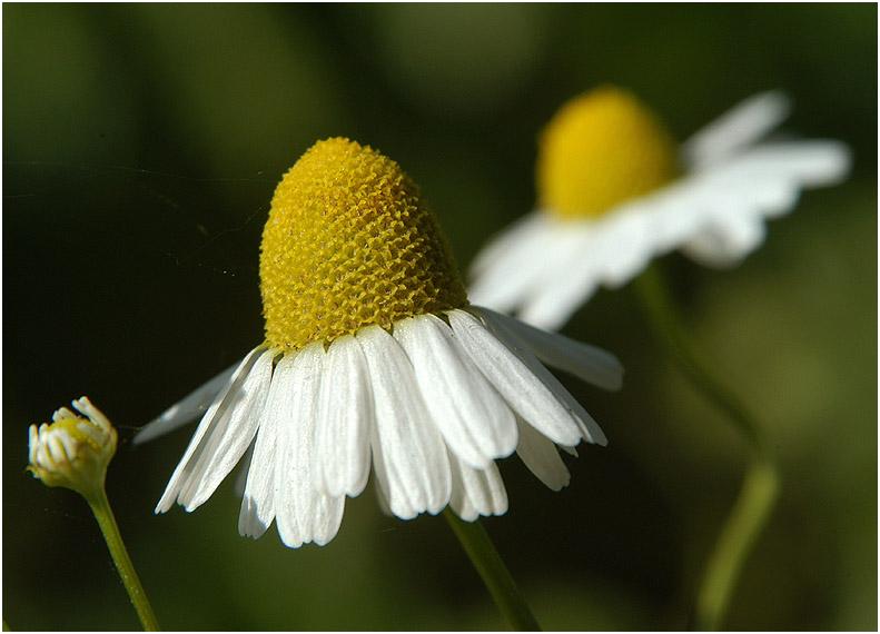 kamille foto bild pflanzen pilze flechten bl ten kleinpflanzen wildpflanzen bilder. Black Bedroom Furniture Sets. Home Design Ideas