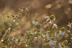 Kamille im Herbst