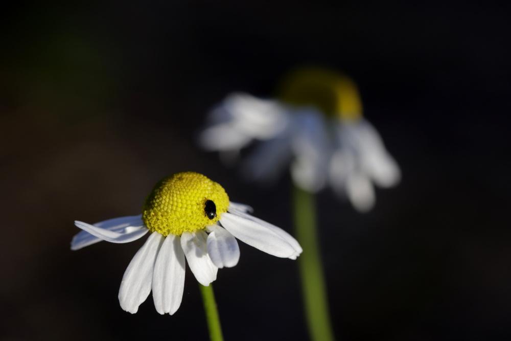 Kamille mit Käfer