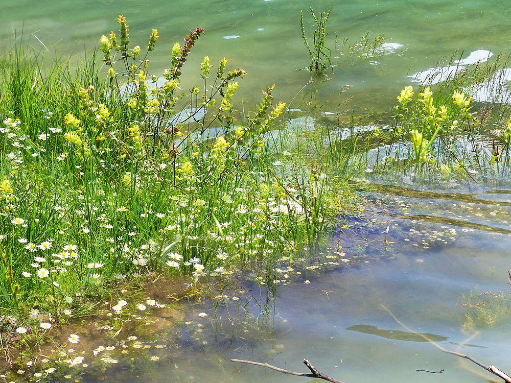 Kamillen blühen auch unter Wasser