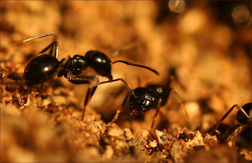 Kampf-Ameise mit nur einem Fühler