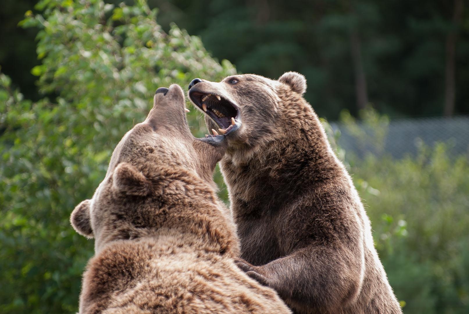 Kampf der Bären