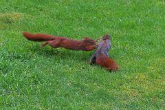 Kampf der Hörnchen (Doku)