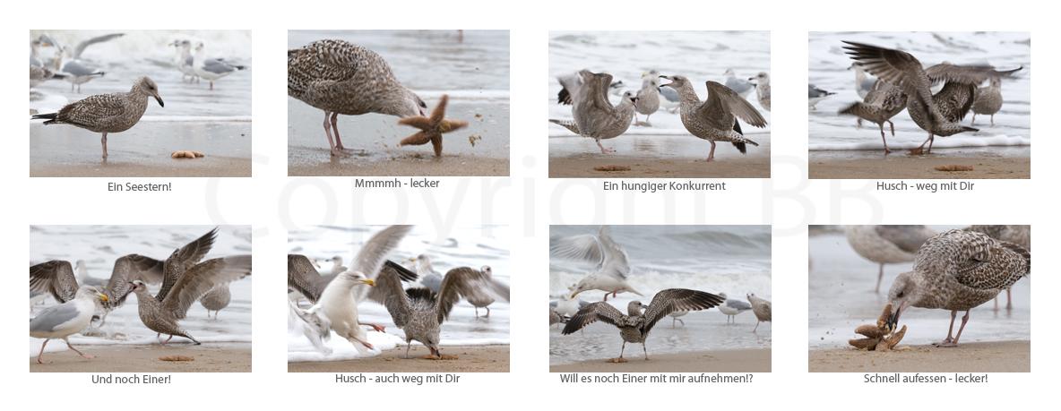 Kampf um den Seestern