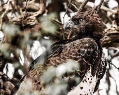 Kampfadler, Kgalagadi Transfrontier Park-Süd Afrika