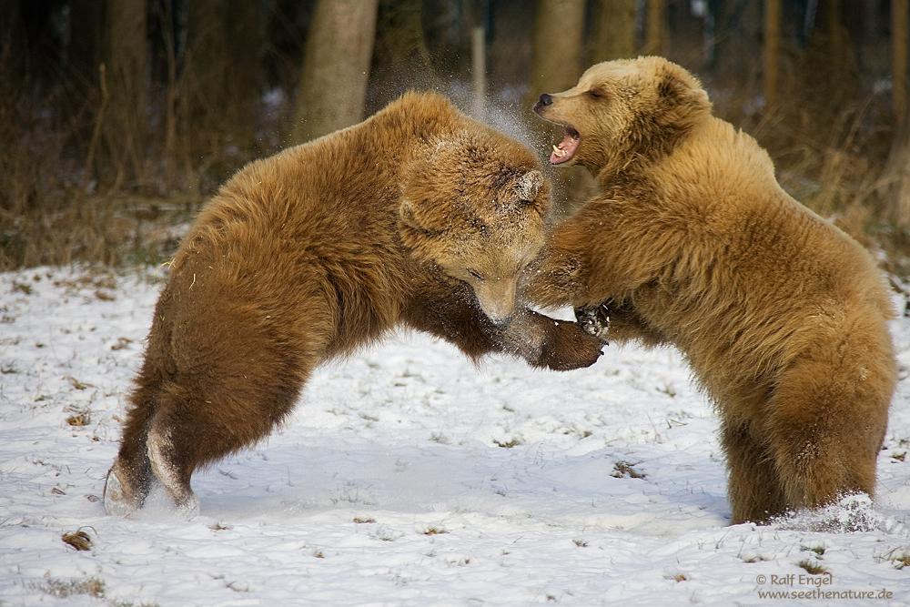 Kampfbären