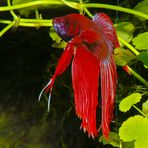 Kampffisch Männchen (Betta splendens)
