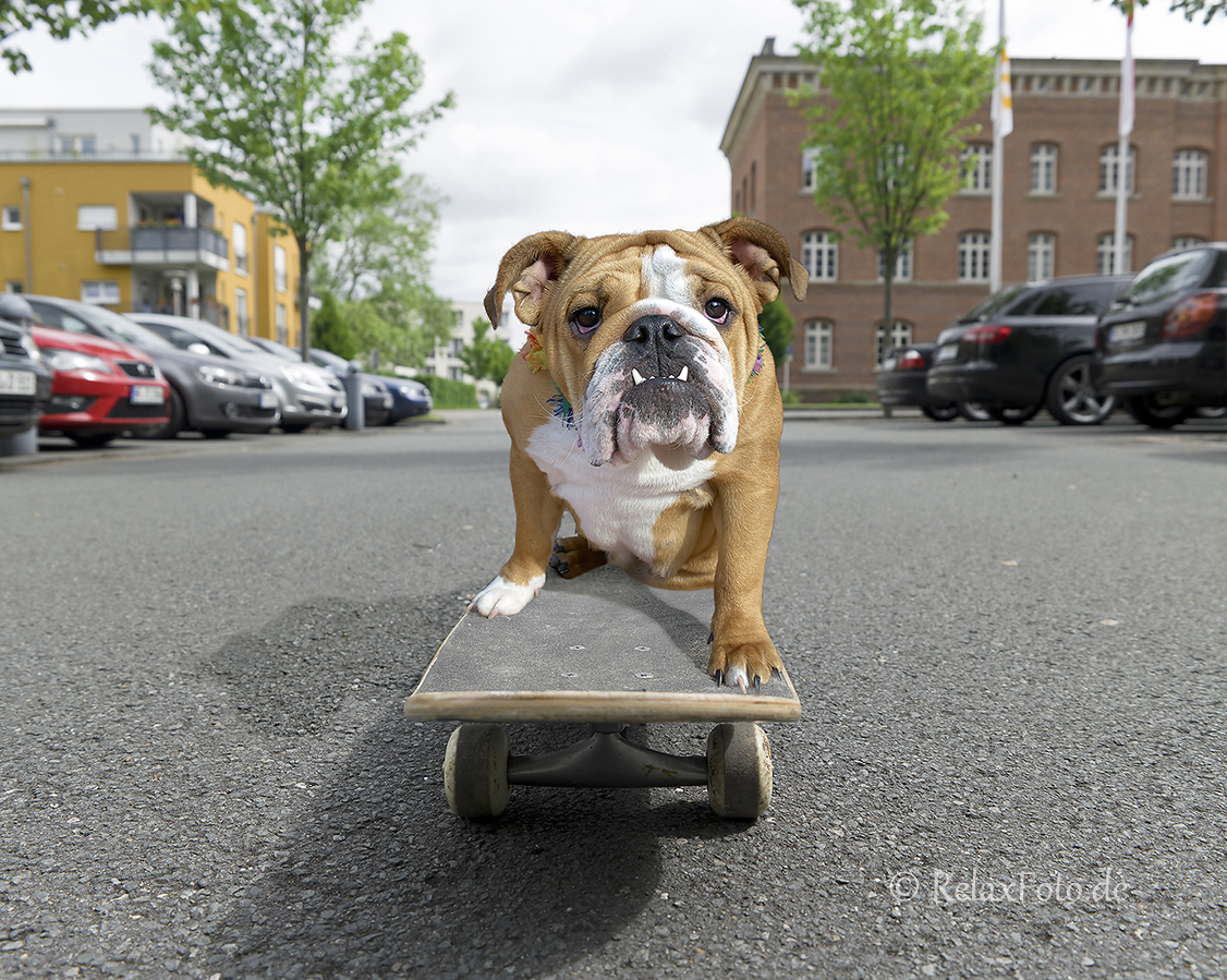 Kampfgeist - Englische Bulldog-Dame auf Skateboard