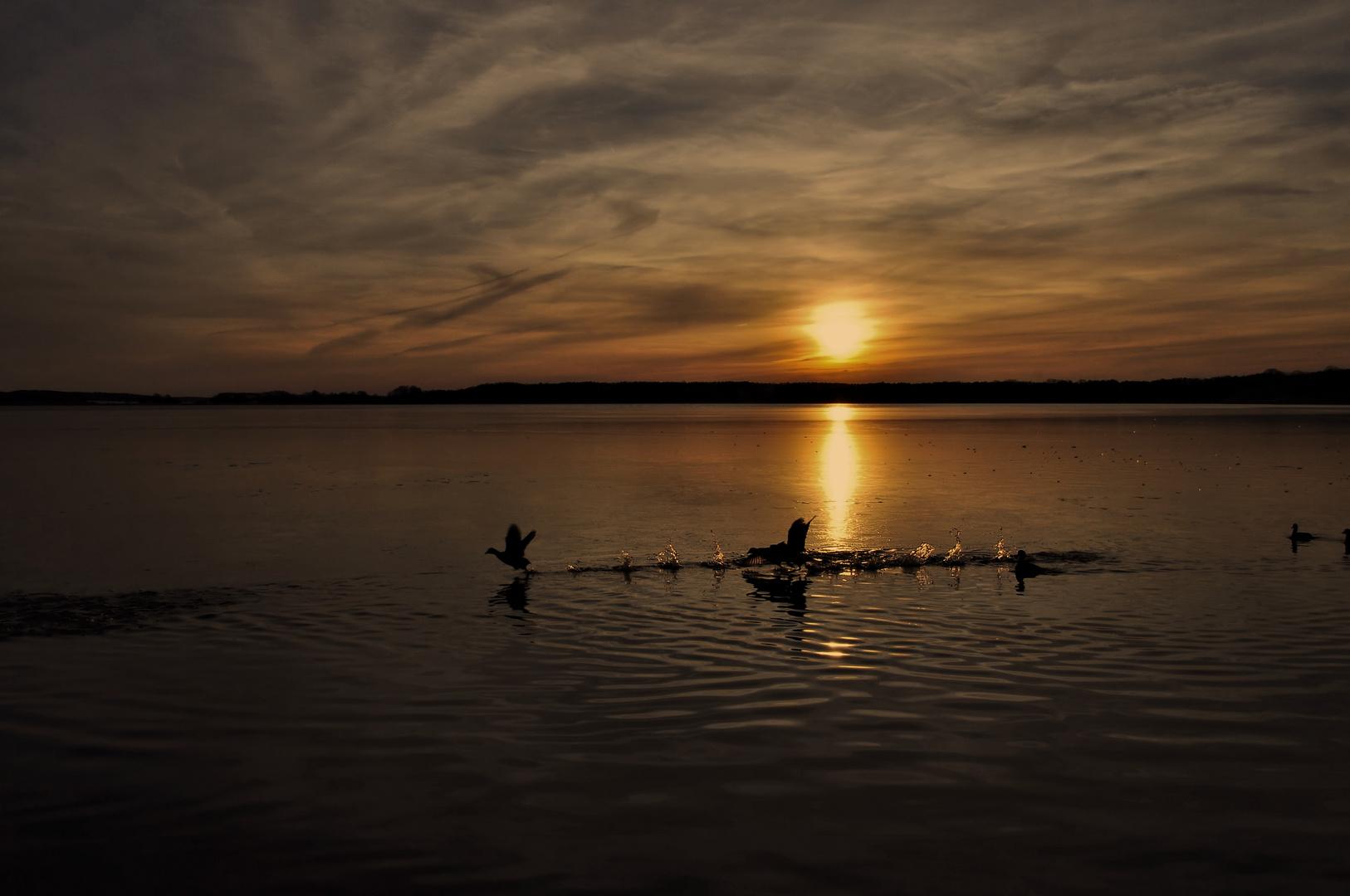 Kampfrevier der Blesshühner beim Sonnenuntergang