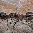 Kampfstimmung bei Waldameisen! (1) - Un combat de fourmis...