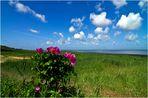 Kamtschatka-Rose am Watt