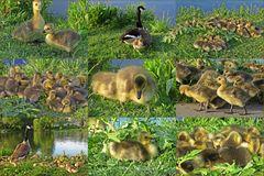 Kanadagans - Sammelstelle für Jungtiere