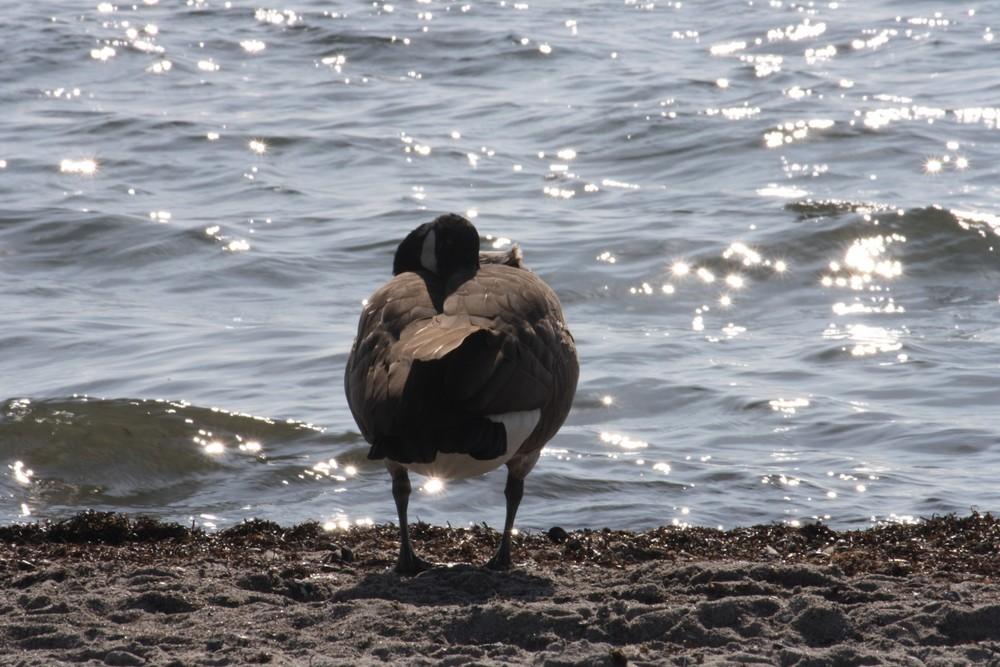 Kanadische Wildgans am Strand