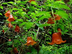 Kanaren-Glockenblume