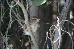 Kanaren-Vogel