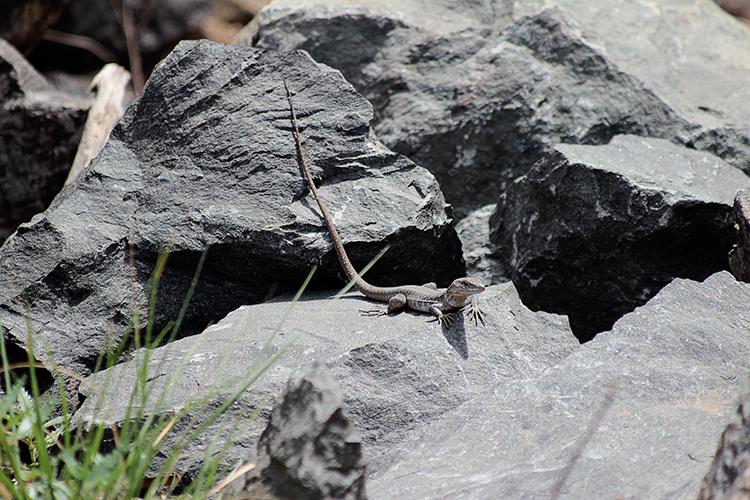 Kanareneidechse (Gallotia galloti)
