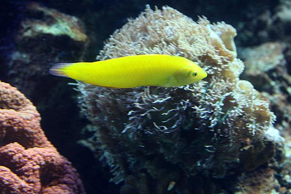 Kanarien-Lippfisch