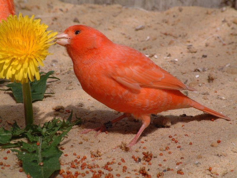 Favorit Kanarienvogel in rot-schimmel. Foto & Bild | tiere, haustiere MU51