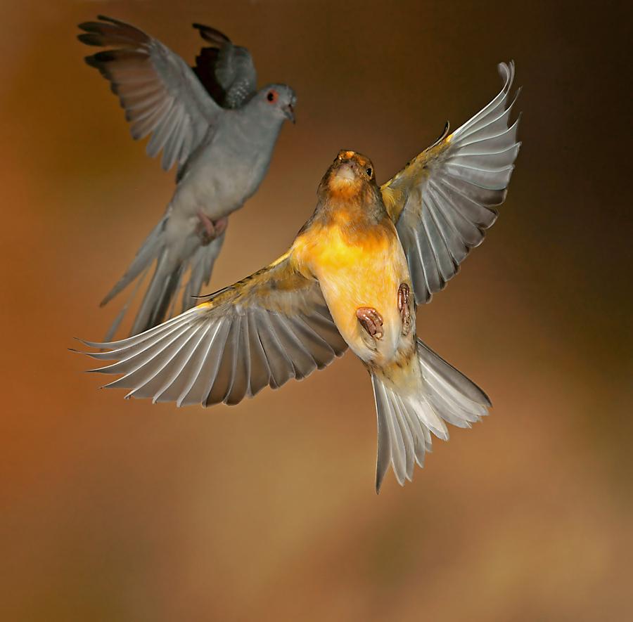 Kanarienvogel und Diamanttaube