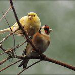 Kanarienvogel und Stieglitz