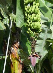 Kanarische Bananen (platanos)