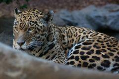 Kanarischer Jaguar