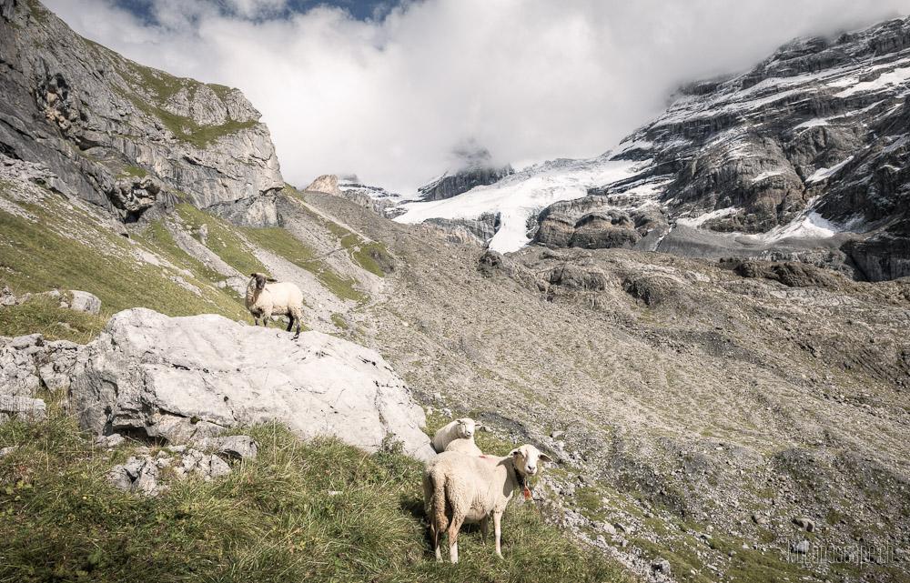 ~ Kandertal: Alpin-Schafe ~