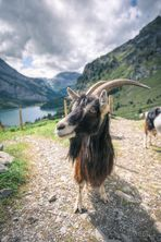 ~ Kandertal: Ziege beim Oeschinensee ~