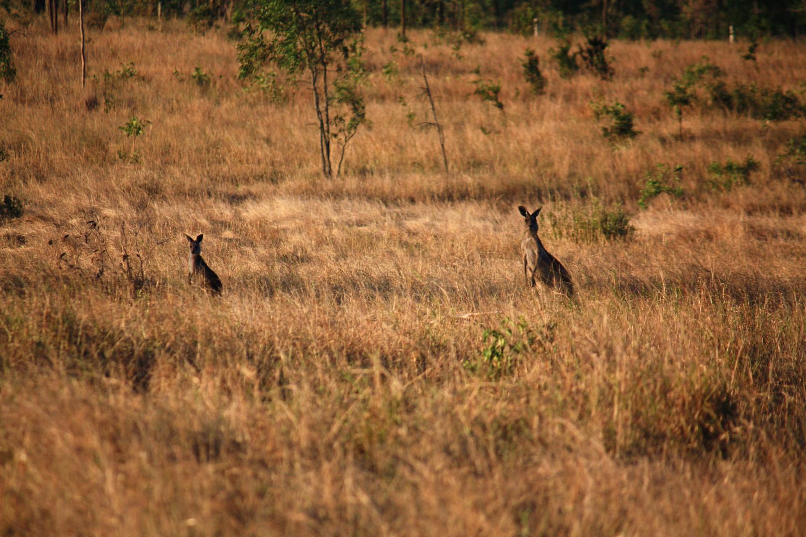 Kangaroos On Pakington 2