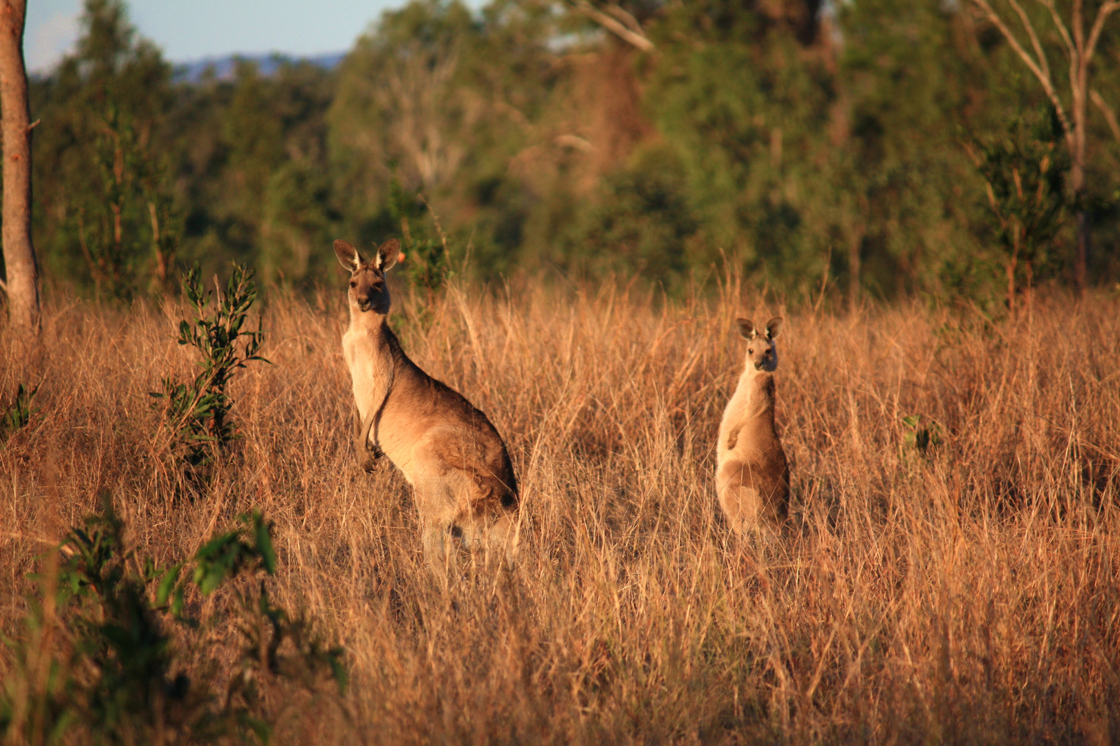 Kangaroos On Pakington 3