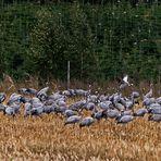 Kanichrast auf den Maisfeldern
