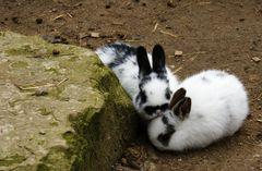 Kaninchen [2x]