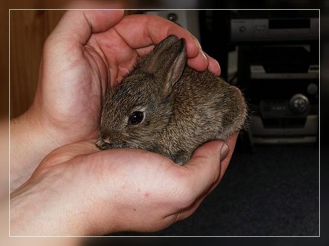 kaninchen baby foto bild tiere haustiere nagetiere kaninchen bilder auf fotocommunity. Black Bedroom Furniture Sets. Home Design Ideas