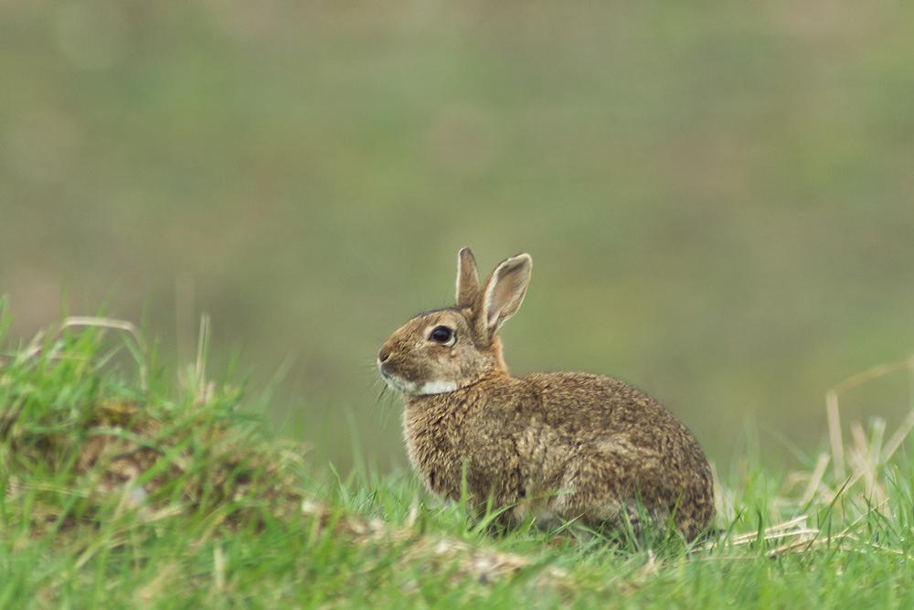 Kaninchen - das Wilde