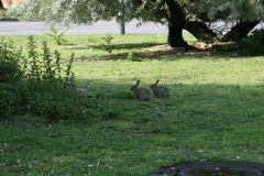 Kaninchen in der Stadt