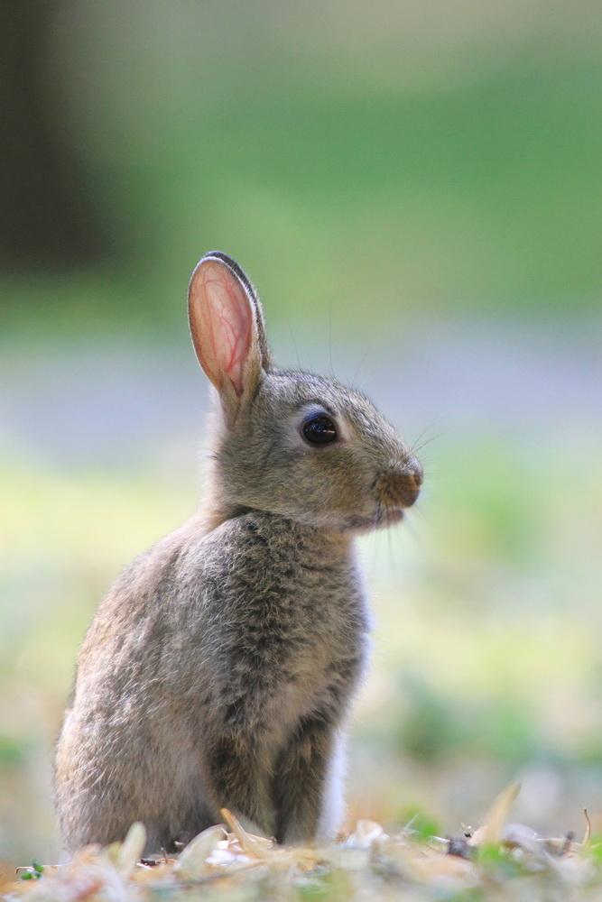 Kaninchen - Jungtier