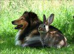 Kaninchen-Sheltie