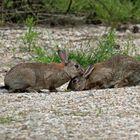 Kaninchen ...Zuneigung oder Fellpflege?