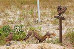 Kanincheneulen Familie