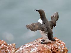 Kann dieser Pinguin fliegen ?