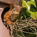 Kann mal einer helfen? - Eichhörnchen in Not.