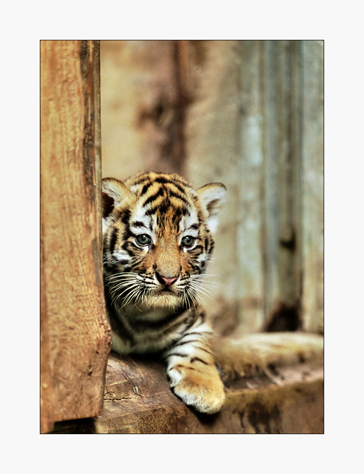 Kann So Ein Kleiner Tiger Schon Nette Neujahrswünsche An Nette