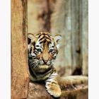 Kann so ein kleiner Tiger schon nette Neujahrswünsche an nette Menschen überbringen?