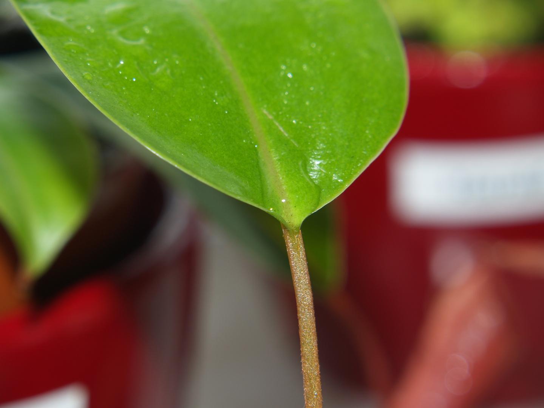 Kannenpflanzenbatt