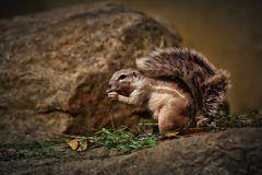 Kap  Borstenhörnchen