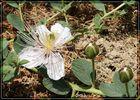Kapernblüten auf Kreta