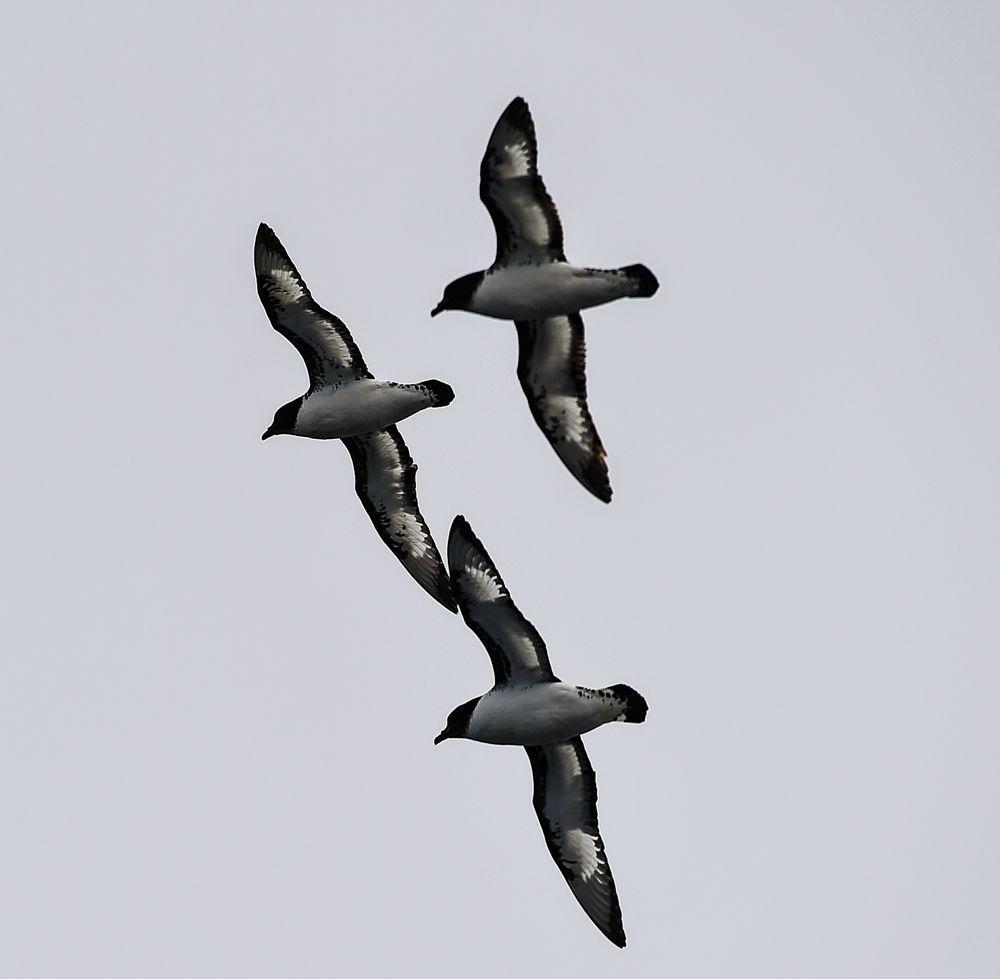 Kapsturmvögel                    .DSC_6559-2