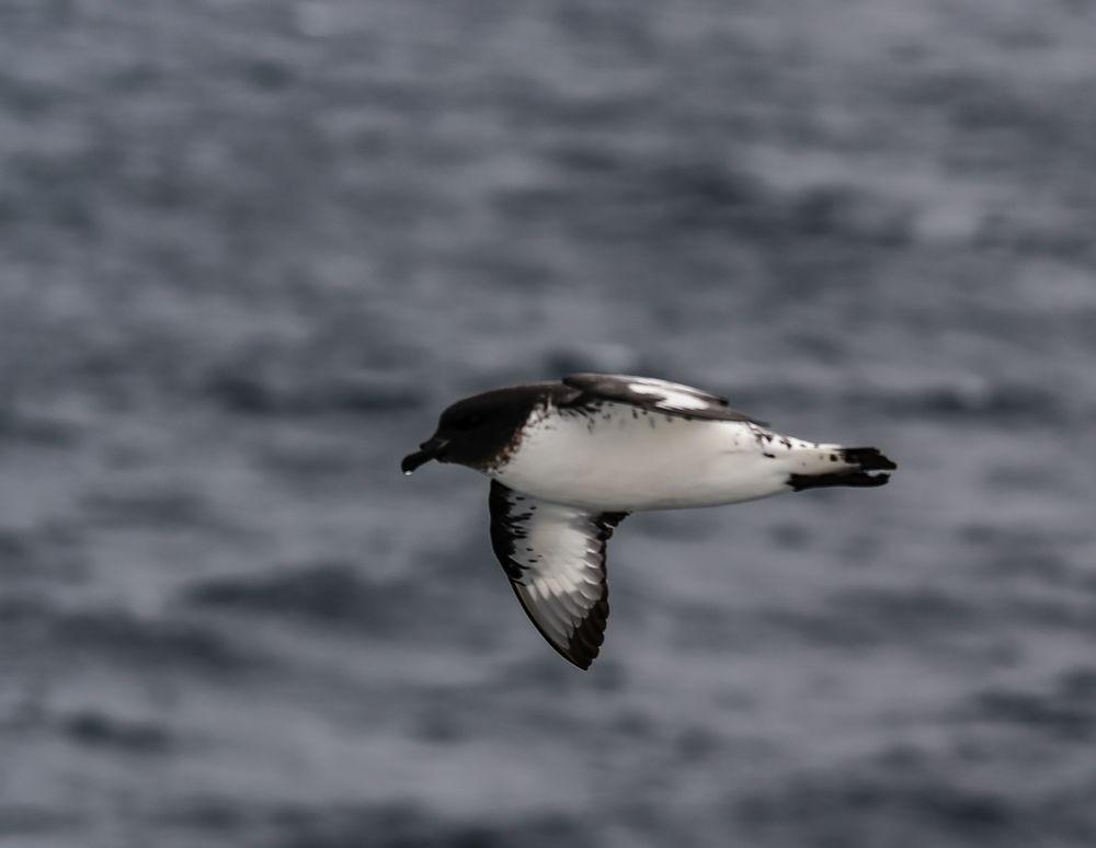 Kapsturmvogel  .DSC_6585-2