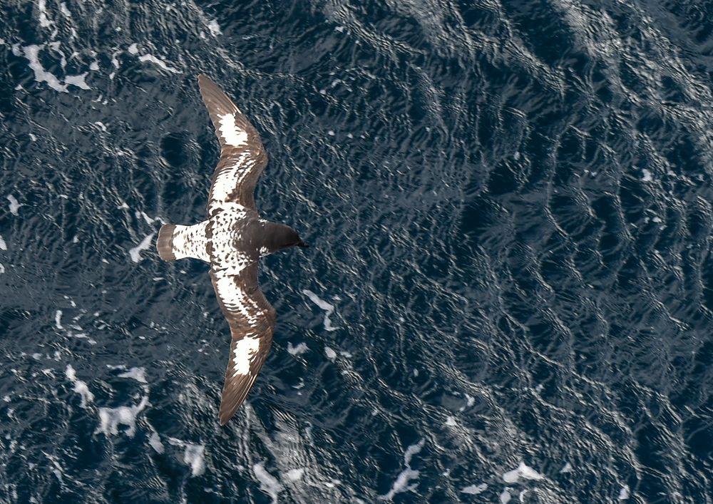 Kapsturmvogel  ..DSC_6665-2